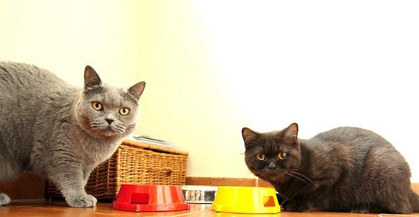 Kot Brytyjski Udomowione Piękno I Gracja Kar Mapl