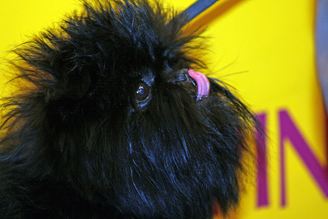 pinczer małpi