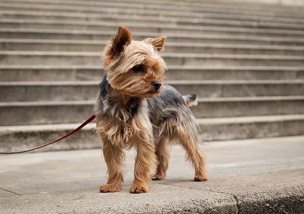 Yorki, czyli rasa yorkshire terrier | Kar-Ma.pl