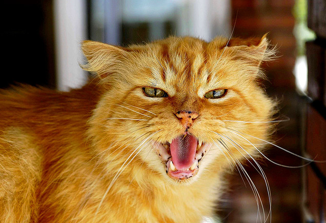 Angry Ginger Cat Free Image