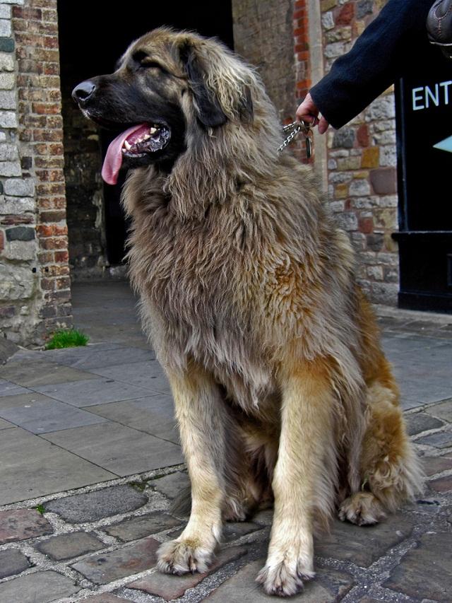 duże psy