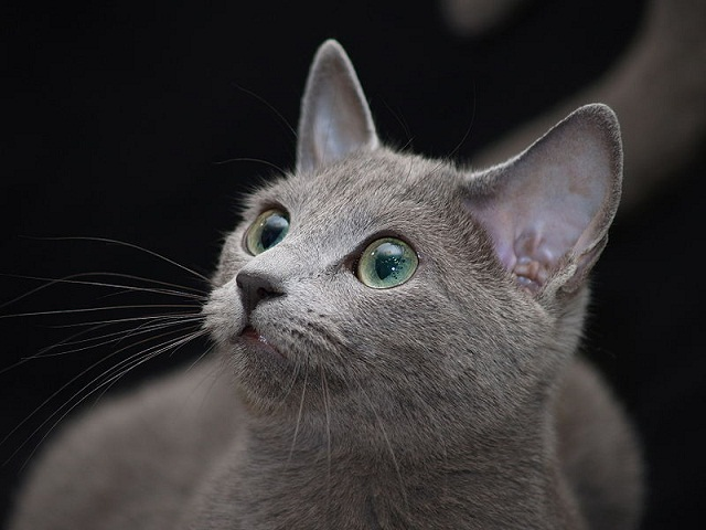 Black Bengal Cat Russian Blue