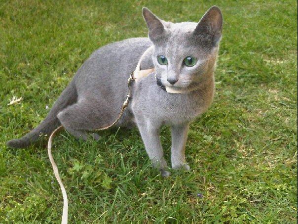 Kot Rosyjski Niebieski Nieśmiały I Majestatyczny Kar Mapl