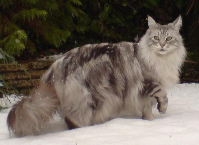 Rasy Kotów Dużych Największe Koty Domowe Top 10 Kar Mapl
