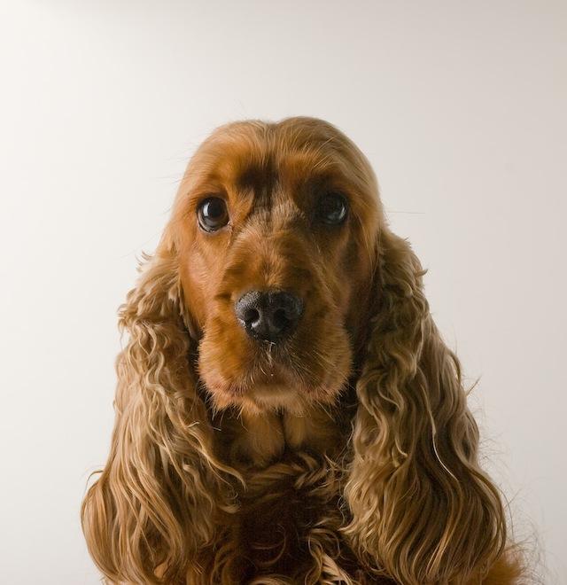 Niewiarygodnie Rasy psów średnich ze zdjęciami - średnie psy do mieszkania lub CZ11