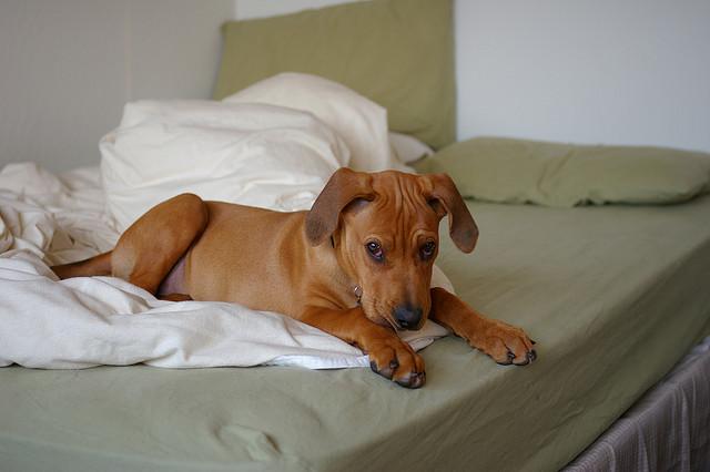 Dlaczego Pies Sika Do łóżka Kar Mapl